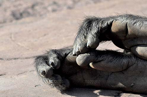 Wildlife- Gray or Common Indian Langur (India) Close-up of a tired black footed male Gray Langur's (Semnopithecus hypoleucos) feet at Bhopal, Madhya Pradesh, India. by Anil Sharma Fotography