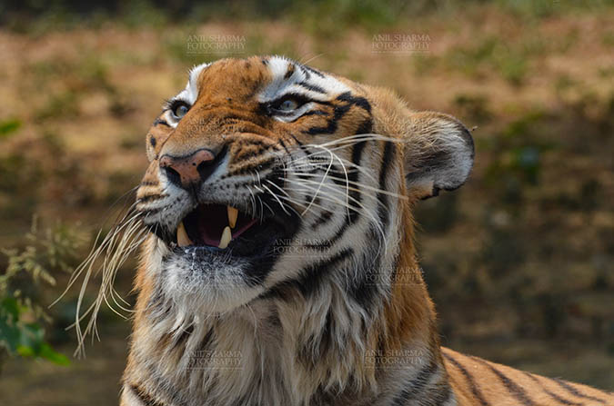 Wildlife- Royal Bengal Tiger (Panthera Tigris Tigris) Royal Bengal Tiger, New Delhi, India- April 3, 2018: Close-up a Royal Bengal Tiger (Panthera tigris Tigris) in an angry mood at New Delhi, India. by Anil Sharma Fotography