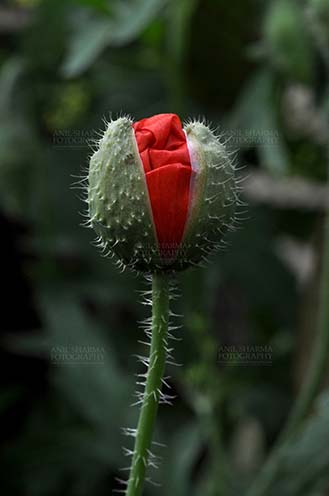 Flowers- Poppy Flowers (Papaver oideae) Beautiful Red Color Poppy (Papaver oideae) buds with green color background blooming in a small garden at Noida, Uttar Pradesh, India. by Anil Sharma Fotography