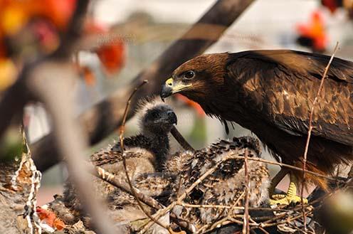Birds-  Black Kite Milvus migrans (Boddaert) Mom Black Kite with her Chicks. by Anil Sharma Fotography