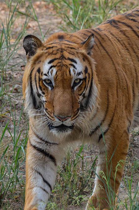 Wildlife- Royal Bengal Tiger (Panthera Tigris Tigris) Royal Bengal Tiger, New Delhi, India- April 2, 2018: A Royal Bengal Tiger (Panthera tigris Tigris) roaming at New Delhi, India. by Anil Sharma Fotography