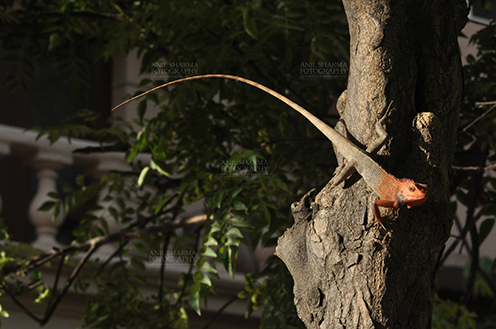 Reptiles- Oriental Garden Lizard Noida, Uttar Pradesh, India- May 28, 2011: Oriental Garden Lizard, Eastern Garden Lizard or Changeable Lizard (Calotes versicolor) resting on a tree trunk, Noida, Uttar Pradesh, India. by Anil Sharma Fotography