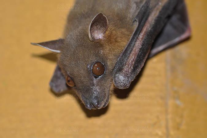 Wildlife- Indian Fruit Bat (Petrous giganteus) Fruit Bat (Pterouus giganteus) Noida, Uttar Pradesh, India- January 19, 2017: An Indian fruit bat taking rest  at Noida, Uttar Pradesh, India. by Anil Sharma Fotography