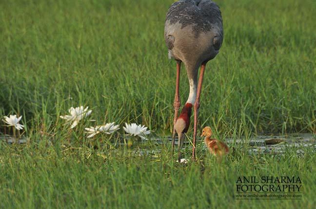 Birds- Sarus Crane (Grus Antigone) Mom Sarus Crane, Grus Antigone (Linnaeus) searching food for her chick at Greater Noida, Uttar Pradesh, India. by Anil