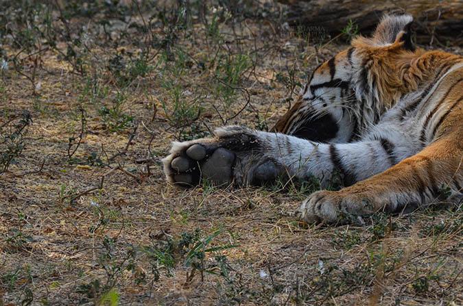 Wildlife- Royal Bengal Tiger (Panthera Tigris Tigris) Royal Bengal Tiger, New Delhi, India- April 2, 2018: A sleeping Royal Bengal Tiger's (Panthera tigris Tigris) paw at New Delhi, India. by Anil Sharma Fotography