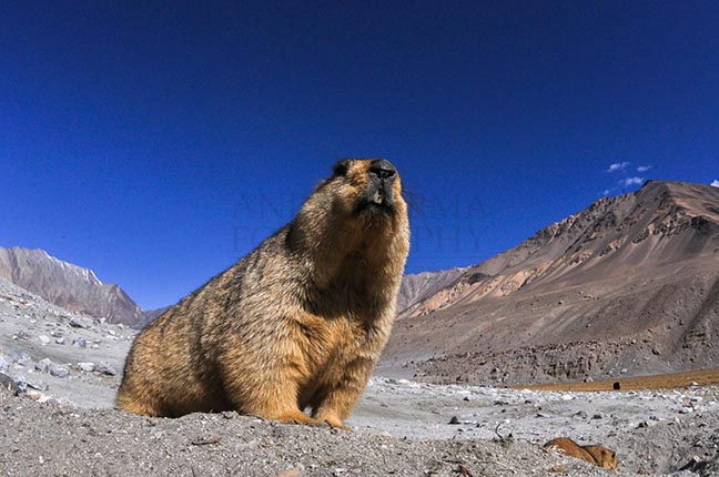 Wildlife- The Himalayan Marmots, J & K (India) Group Leader of Himalayan Marmots, Welcoming tourists to Leh, Jammu & Kashmir, India. by Anil