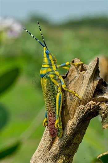 Insects- Indian Painted Grasshopper by Anil