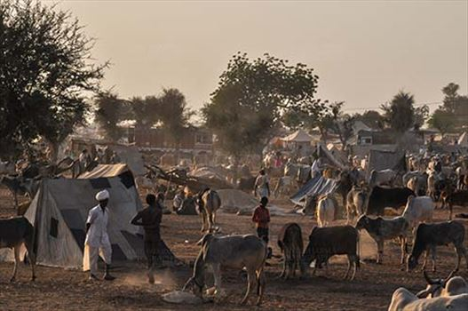 Fairs- Nagaur Cattle Fair (Rajasthan) by Anil