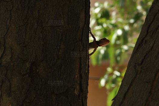 Reptiles- Oriental Garden Lizard - Noida, Uttar Pradesh, India- May 28, 2011: Baby Oriental Garden Lizard, Eastern Garden Lizard or Changeable Lizard (Calotes versicolor) on a tree trunk at Noida, Uttar Pradesh, India.