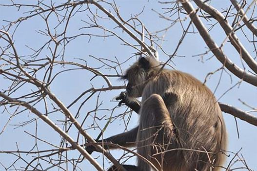 Wildlife- Gray or Common Indian Langur (India) - A hungry black footed Gray or common male Langur (Semnopithecus hypoleucos) sitting on a tree branch eating leaves at Bhopal, Madhya Pradesh, India.