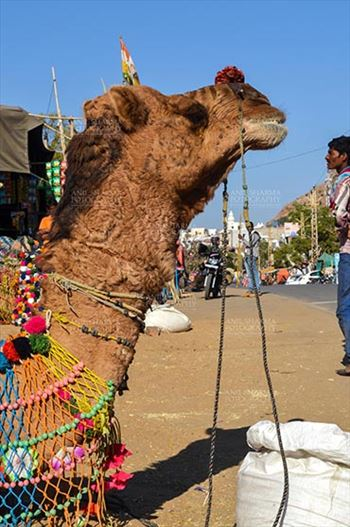 Fairs- Pushkar Fair (Rajasthan) - Pushkar, Rajasthan, India- January 16, 2018: Close-up of a beautifully decorated Camel at Pushkar fair, Rajasthan, India.