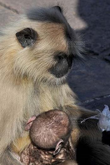 Wildlife- Gray or Common Indian Langur (India) - A black footed mother Gray Langur (Semnopithecus hypoleucos) holding her newly born baby at Bhopal, Madhya Pradesh, India.