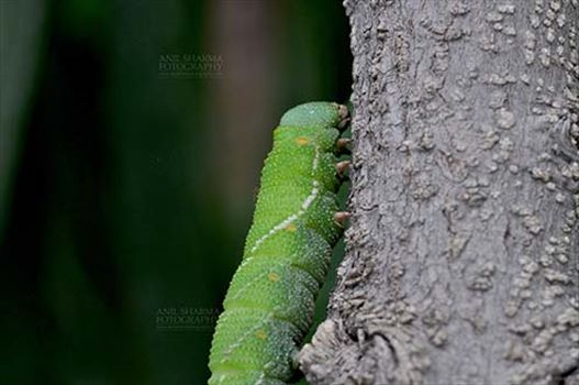 Insects- Caterpillar by Anil
