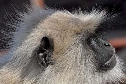 Wildlife- Gray or Common Indian Langur (India) - Close-up of a male black footed Gray Langur (Semnopithecus hypoleucos) sitting on a tree  branch at Bhopal, Madhya Pradesh, India.