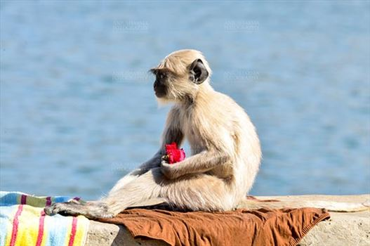 "Fairs- Pushkar Fair (Rajasthan) - Pushkar, Rajasthan, India- January 16, 2018: ""Rose Lover"" A baby Gray langur with rose at Pushkar Sarover, Rajasthan, India."