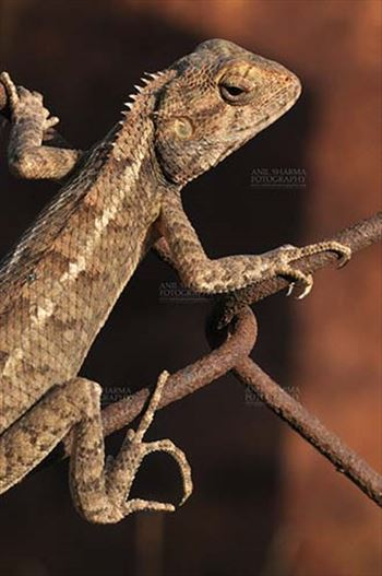 Reptiles- Oriental Garden Lizard - Noida, Uttar Pradesh, India- June 25, 2016: Close-up of an Oriental Garden Lizard, Eastern Garden Lizard or Changeable Lizard (Calotes versicolor) Noida, Uttar Pradesh, India.