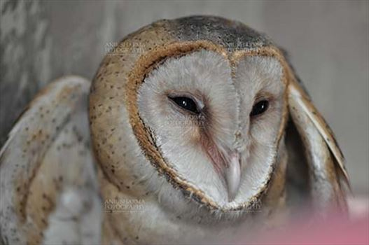 Birds- Barn Owl Tyto Alba (Scopoli) - Barn Owl Tyto Alba (Scopoli) showing eyes and beak, Noida, Uttar Pradesh, India