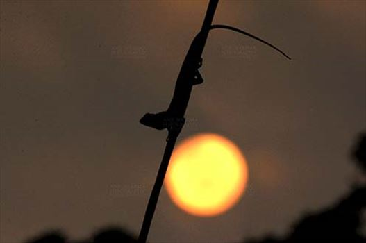 Reptiles- Oriental Garden Lizard - Noida, Uttar Pradesh, India- July 30, 2014: Oriental Garden Lizard or Eastern Garden Lizard (Calotes versicolor) on a wire enjoying sunset scene at Noida, Uttar Pradesh, India.