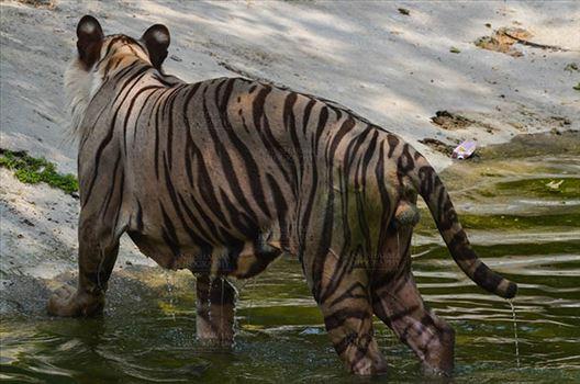 Wildlife- White Tiger (Panthera Tigris) - White Tiger, New Delhi, India- June 20, 2018: A White Tiger (Panthera tigris) after taking bath at New Delhi, India.