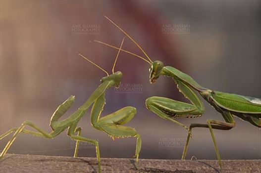 Insect- Praying Mantis - Side view of Two Praying Mantis, Mantodea (or mantises, mantes)  in playful mood on a tree branch at Noida, Uttar Pradesh, India