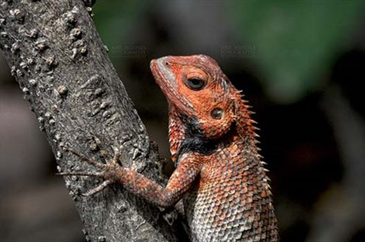 Reptiles- Oriental Garden Lizard - Noida, Uttar Pradesh, India- June 17, 2016: Oriental Garden Lizard, Eastern Garden Lizard or Changeable Lizard (Calotes versicolor) resting on tree branch, Noida, Uttar Pradesh, India.