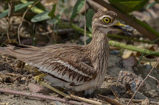 Birds- Eurasian Stone Curlew (Burhinus oedicnemus) - Eurasian stone curlew or stone-curlew (Burhinus oedicnemus) at Noida, Uttar Pradesh, India- June 19, 2017: A Female Eurasian stone sitting on her eggs at Noida field, Uttar Pradesh, India.