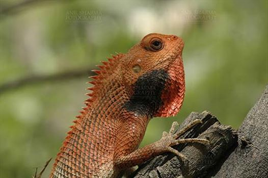 Reptiles- Oriental Garden Lizard - Noida, Uttar Pradesh, India- April 22, 2010: Oriental Garden Lizard, or Changeable Lizard (Calotes versicolor) in breeding color.