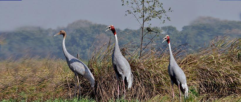 Birds- Sarus Crane (Grus Antigone) -