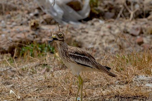 Birds- Eurasian Stone Curlew (Burhinus oedicnemus) - Eurasian stone curlew or stone-curlew (Burhinus oedicnemus) at Noida, Uttar Pradesh, India- June 18, 2017: An alert Female Eurasian stone in the dry grass land guarding her nest at Noida, Uttar Pradesh, India.