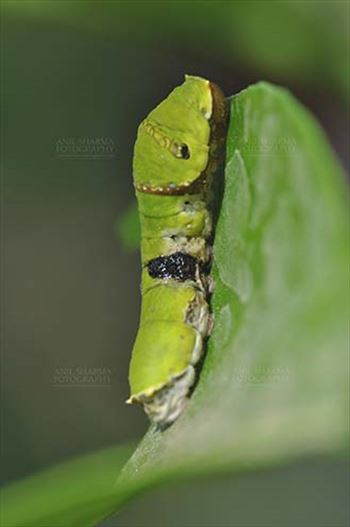 Insects- Caterpillar by Anil Sharma Fotography