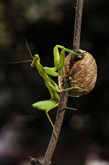 Insect- Praying Mantis by Anil Sharma Fotography