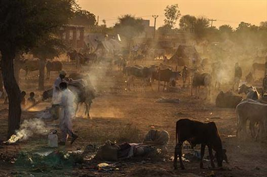 Fairs- Nagaur Cattle Fair (Rajasthan) by Anil Sharma Fotography