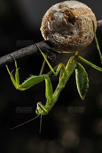 Insect- Praying Mantis - A Praying Mantis,  Mantodea (or mantises, mantes) with ootheca the protective capsule with the eggs on a tree branch at Noida, Uttar Pradesh, India.