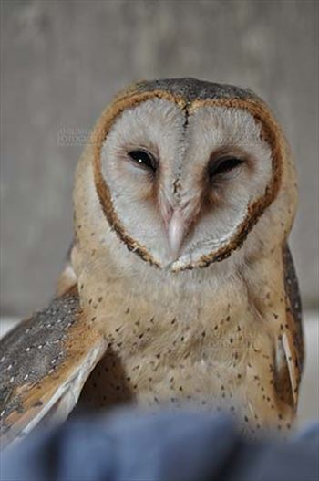 Birds- Barn Owl Tyto Alba (Scopoli) - Barn Owl Tyto Alba (Scopoli) showing eyes and beak, Noida, Uttar Pradesh, India.