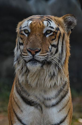 Wildlife- Royal Bengal Tiger (Panthera Tigris Tigris) by Anil Sharma Fotography