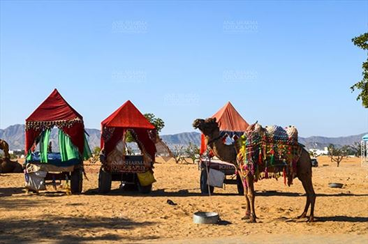 Fairs- Pushkar Fair (Rajasthan) - Pushkar, Rajasthan, India- January 16, 2018: Decorated Camel coach for tourists and devotees at Pushkar, Rajasthan, India.