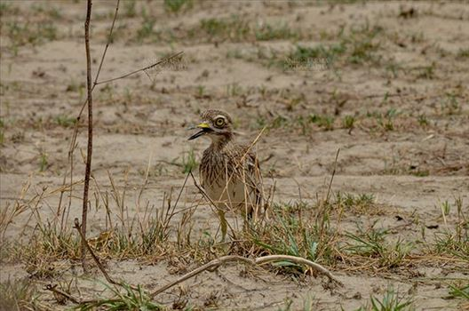 Birds- Eurasian Stone Curlew (Burhinus oedicnemus) - Eurasian stone curlew or stone-curlew (Burhinus oedicnemus) at Noida, Uttar Pradesh, India- June 18, 2017: Front pose of a Female Eurasian stone guarding her nestat Noida, Uttar Pradesh, India.