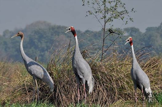 The tallest of the flying birds, Sarus Crane in India considered symbols of marital fidelity, believed to mate for life and pine the loss of their mates even to point of starving to death.