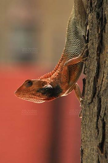 Reptiles- Oriental Garden Lizard - Noida, Uttar Pradesh, India- May 28, 2011: Oriental Garden Lizard, Eastern Garden Lizard or Changeable Lizard (Calotes versicolor) on a tree trunk at Noida, Uttar Pradesh, India.