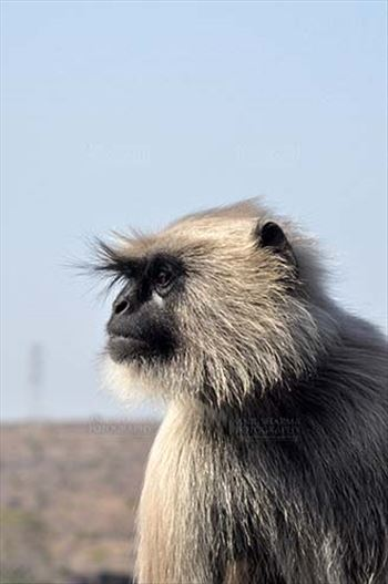 Wildlife- Gray or Common Indian Langur (India) - Close-up of an old black footed female Gray Langur (Semnopithecus hypoleucos) at Bhopal, Madhya Pradesh, India.