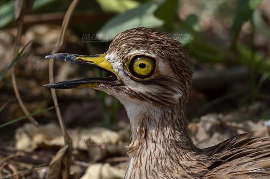 Birds- Eurasian Stone Curlew (Burhinus oedicnemus) - Eurasian stone curlew or stone-curlew (Burhinus oedicnemus) at Noida, Uttar Pradesh, India- June 19, 2017: Close-up of a Female Eurasian stone facing right in a field at Noida, Uttar Pradesh, India.