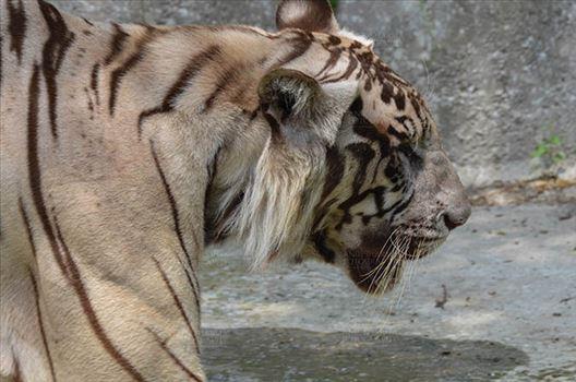Wildlife- White Tiger (Panthera Tigris) - White Tiger, New Delhi, India- June 20, 2018: Close-up of a White Tiger (Panthera tigris) at New Delhi, India.