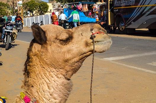Fairs- Pushkar Fair (Rajasthan) - Pushkar, Rajasthan, India- January 16, 2018: Close-up of a Camel at Pushkar fair, Rajasthan, India.