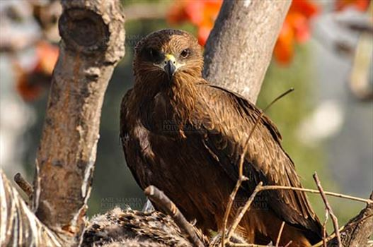 Birds-  Black Kite Milvus migrans (Boddaert) by Anil