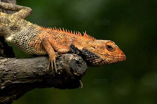 Reptiles- Oriental Garden Lizard - Noida, Uttar Pradesh, India- July 20, 2012:  Oriental Garden Lizard, Eastern Garden Lizard or (Calotes versicolor) adult resting on tree stump with breeding color at Noida, Uttar Pradesh, India.