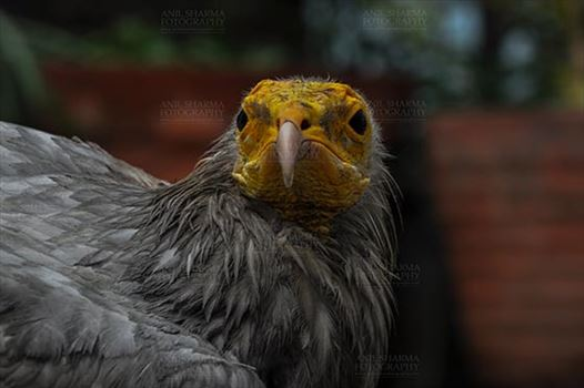 Birds- Egyptian Vulture (Neophron percnopterus) - Egyptian vulture, Aligarh, Uttar Pradesh, India- January 21, 2017:   Close-up of an Egyptian Vulture looking straight with dark background at Aligarh, Uttar Pradesh, India.
