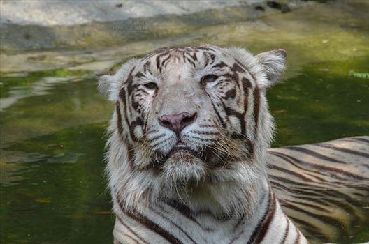 Wildlife- White Tiger (Panthera Tigris) - White Tiger, New Delhi, India- June 20, 2018: A White Tiger (Panthera tigris) sitting in a small water pool at New Delhi, India.