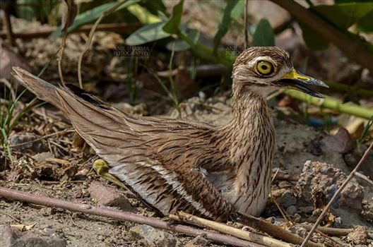 Birds- Eurasian Stone Curlew (Burhinus oedicnemus) - Eurasian stone curlew or stone-curlew (Burhinus oedicnemus) at Noida, Uttar Pradesh, India- June 18, 2017: Close-up of a  Female Eurasian stone sitting on her Eggs at Noida, Uttar Pradesh, India.