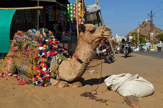 Fairs- Pushkar Fair (Rajasthan) - Pushkar, Rajasthan, India- January 16, 2018: Beautifully decorated Camel taking rest at Pushkar fair ground, Rajasthan, India.