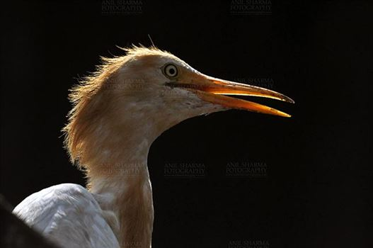 Birds- Cattle Egret (Bubulcus ibis) by Anil Sharma Fotography